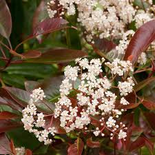 Dak Photinia
